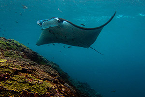 Manta-Ray-Manta-alfredi-at-Hin-Daeng-Thailand-intro