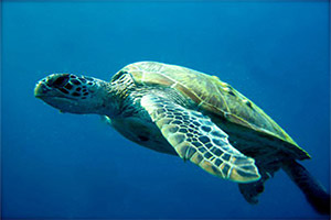 Koh-Haa-Chimney-Turtle