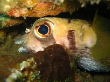 Porcupinefish-Diodontidae-at-The-Chimney-Koh-Haa-Koh-Lanta-Thailand