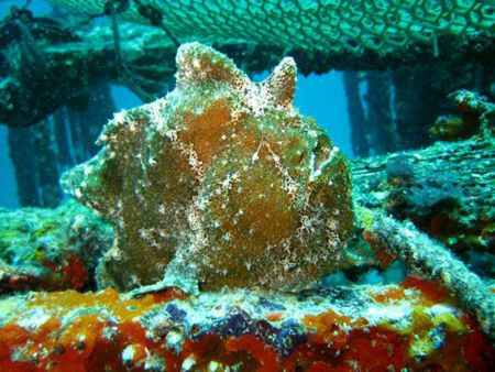 Frogfish-Antennariidae-at-The-Lagoon-Koh-Haa-Koh-Lanta-Thailand