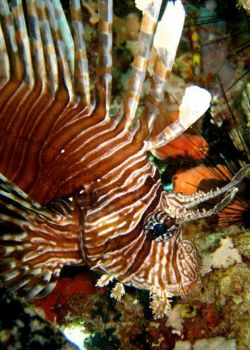 Lionfish-Pterois-at-The-Lagoon-Koh-Haa-Koh-Lanta-Thailand