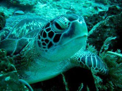 Green-Turtle-Eretmochelys-mydas-at-other-dive-sites-south-Koh-Lanta