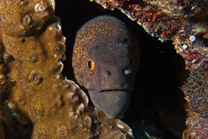 Giant-Moray-Gymnothorax-at-Shark-Point-Phi-Phi-Thailand-intro