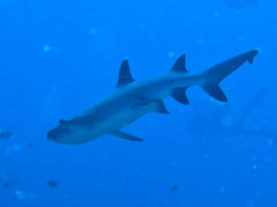 Whitetip-Reef-Shark-triaenodon-obesus-at-Shark-Point-Koh-Phi-Phi-Thailand