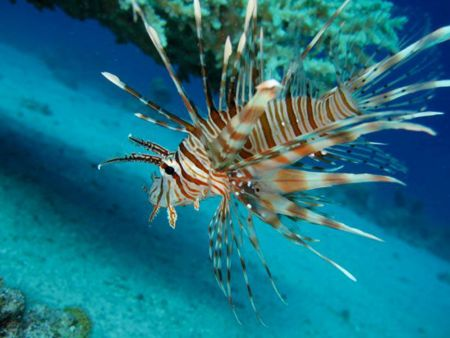 Lionfish-Pterois-at-Shark-Point-Phuket-Koh-Lanta-Thailand
