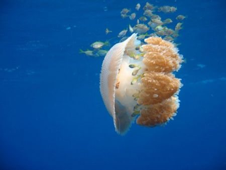 Jellyfish-at-Similan-Islands-Thailand