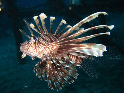 Lionfish-at-Similan-Islands-Thailand