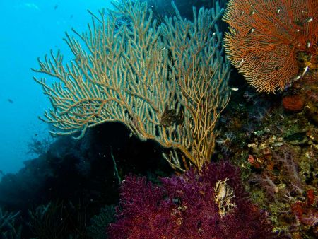 sea-fan-at-Hin-Daeng-Thailand