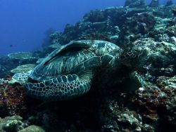 Green-Turtle-Eretmochelys-mydas-at-Islands-2-and-4-Koh-Haa-Koh-Lanta-Thailand