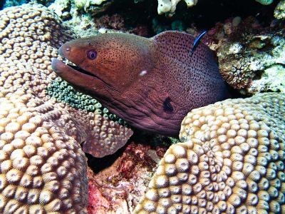 Giant-Moray-Eel-Gymnothorax-javanicus-at-Palong-Wall-Koh-Phi-Phi-Thailand