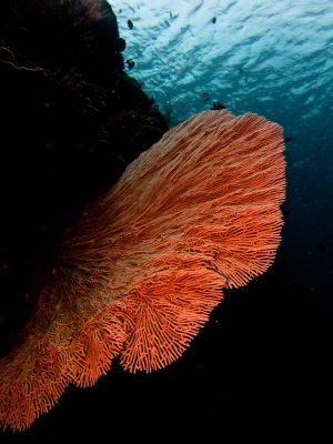 Gorgonian-sea-fan-at-Palong-Wall-Koh-Phi-Phi-Thailand